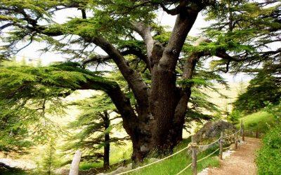 Bosque de Cedros Al Shouf – Líbano