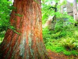 Sequoya Cawdor Castle-Cawdor-Escocia – Gran Bretaña